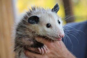 Awesome Opossums