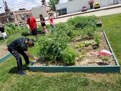Weeding at SEI Community Garden