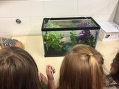 Mrs. Muraca's Beta Fish