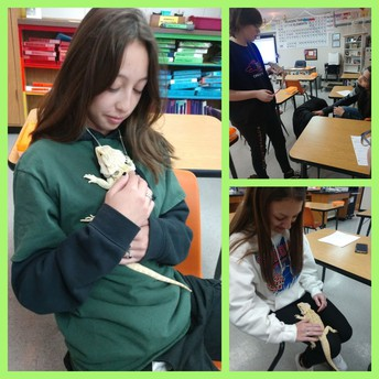 Bearded Dragons in Class?