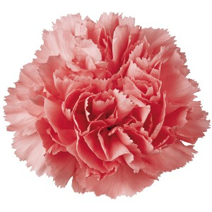 Father's Day Carnations
