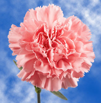 Future Georgia Educators has started their annual carnation sale for Valentine's Day. Carnations  are $2 and come in red, pink, and white.  They can be sent anonymously or with a message.  See Mrs. Prince in the media center to place your order.  We are limited in number, so do not wait to order! Parents, you can order, too!
