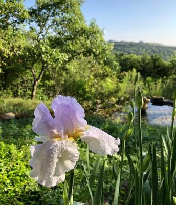 Linda Farr's Purple Iris