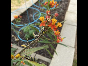 Check out the Monarch Caterpillars (Pupa)!