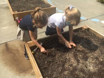 Planting our pumpkin seedlings