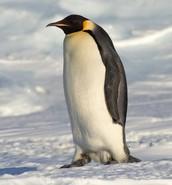 Penguin Plunge Team