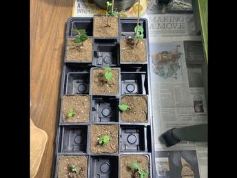 Planting Tomatoes in Kindergarten!