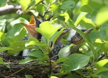 Eastern Kingbird Nestlings