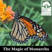 The Magic of Monarchs