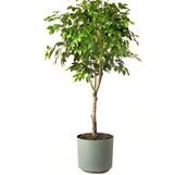 My grandma's favorite plant is the ficus
