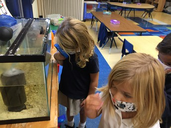 Looking at our horseshoe crabs