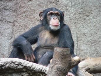 Monkey (Mono)