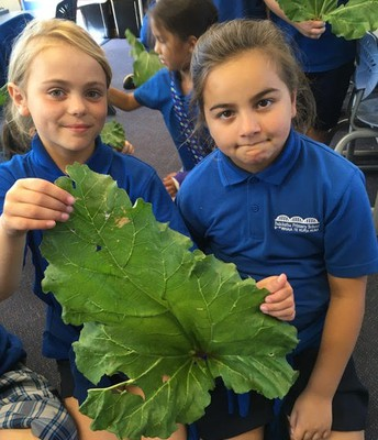 Room 5 looking at rhubarb leaves for maths and science!