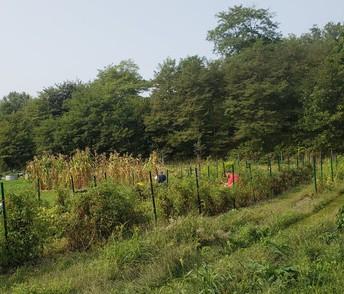Picking the Veggies