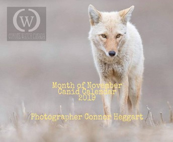 We are Coyote Watch Canada