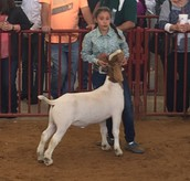 6th Place Showing Goats at the TCJLS