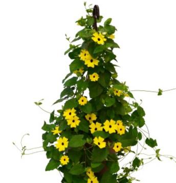 Thunbergia Yellow Hanging Basket