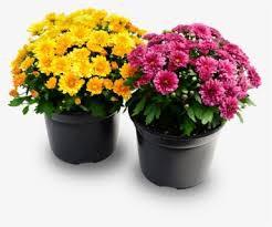 Mum Flower Pick UP