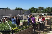 BHS Garden Yielding Crops