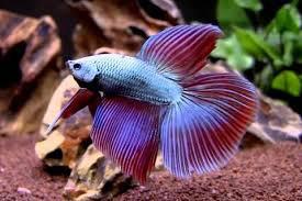 Beta Fish Night