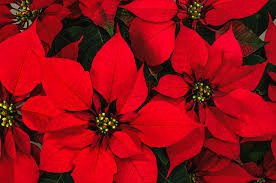 Poinsettia Deadline Extended Until Tuesday, 12/3