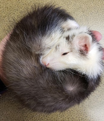 Ferret Gastrointestinal Foreign Bodies