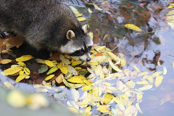 Three Problems Raccoons Often Cause and How Best to Respond