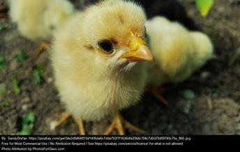 chicks are cute