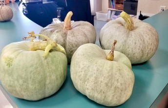 Homegrown Oster Pumpkins