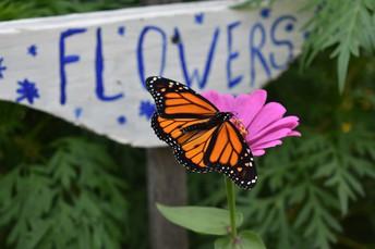 Monarch Butterfly in SKHS Garden