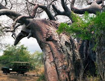 Pafuri baobab tree