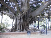 6.Ficus Macrophylla