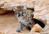 Cougar Cub Camp