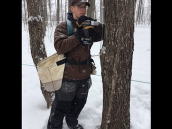 Tapping a Tree for Maple Sugaring