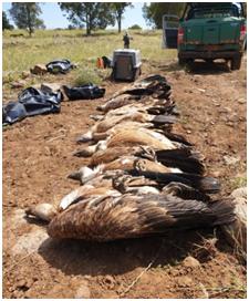 סוגיה סביבתית אקטואלית – הרעלת הנשרים בגולן