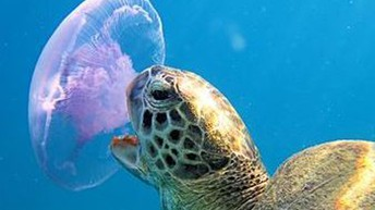 Turtle eating a moon jellyfish