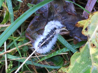 A fuzzy caterpillar