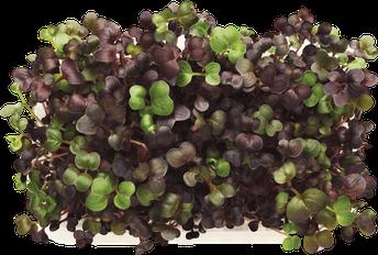 New Grower! MicroGreens Gardens