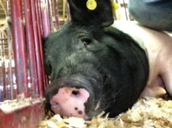 H3N2 (Swine Flu) Outbreak at an Ohio County Fair