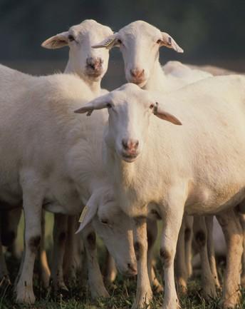 Katahdin Sheep Sale