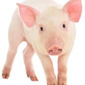 Swine Clinic