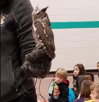 Alex the Eastern Screech Owl is a Beauty!