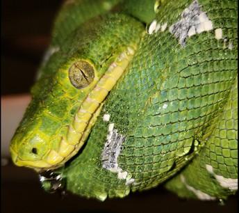 Reptile Cloacal Prolapse