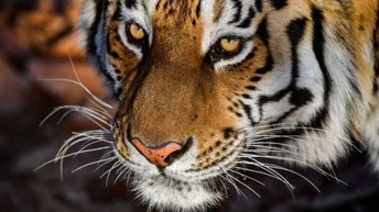 This Week in Tiger Land