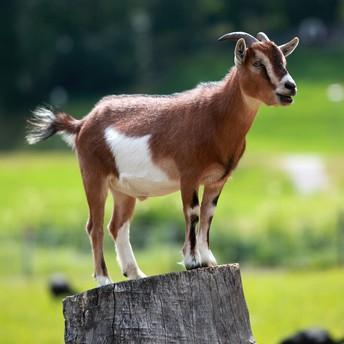 Goat (Cabra)