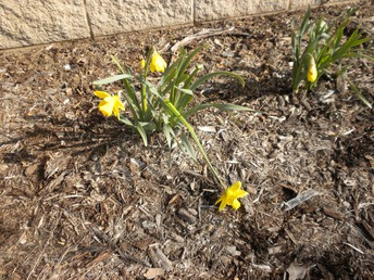 Outside the daffodils are growing too.