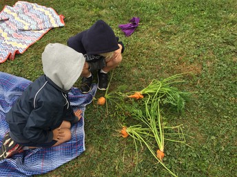 Investigating the Carrot Harvest!