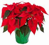 Poinsettia Sales are coming this Holiday Season