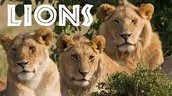 Learning about Lions Video for Kids