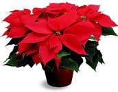 Coming soon: Poinsettia sales!